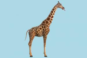Giraffe giraffe, animal, animals, wild, nature, mammal, ruminant, zoology, zoo