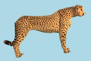 Cheetah tiger, cheetah, tigers, animal, animals, wild, nature, mammal, ruminant, zoology, predator, prey
