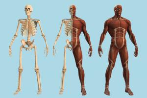 Anatomy muscles, muscle, skeleton, medical, anatomy, anatomization, dissection, vivisection, autopsy, postmortem, slicing, necropsy, body, study, human, bones, blood, heart, skull
