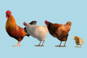Chicken Family hen, rooster, chicken, bird, chick, air-creature, nature