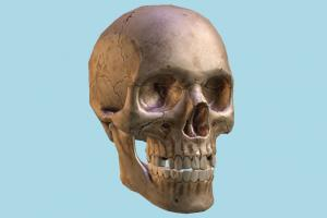 Human Skull skull, bones, bone, cranium, anatomy, skeleton, skeletal, medical, human, study, dead, death, jaw