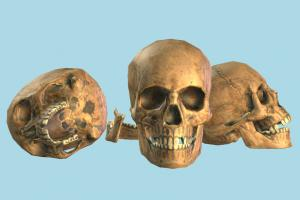 Human Skull skull, bones, anatomy, skeleton, bone, medical, human, study, dead, jaw, cranium